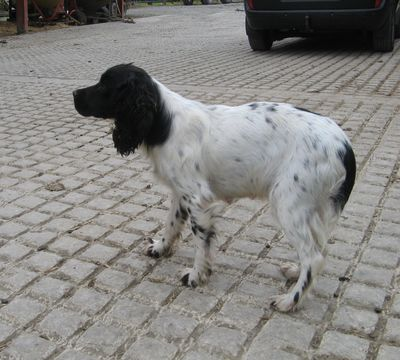 Gin - English Springer Spaniel